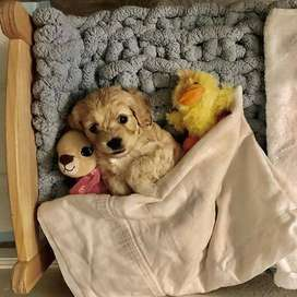 perros garantizados en pureza cachorros de 48 dias de vida