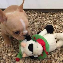 bulldog frances de 55 dias con vacunas hermosos gordos