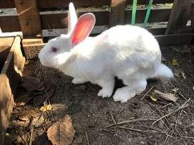 Conejo Gigantes de Flandes