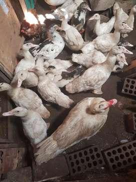 Patos franceses y criollo