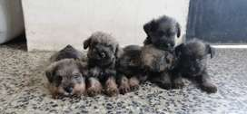 Vendo cachorros raza schnauzer