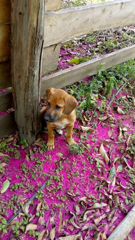 Vendo hermosa cachorra Rohdesian  4 meses