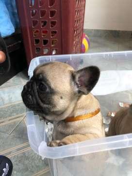 Bulldog frances pedigree