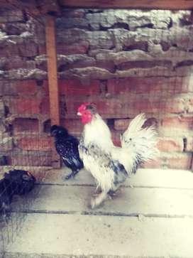 Vendo gallos kikirikis miniatura a 100 soles la pareja
