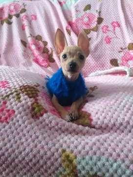 Chihuahua mini toy machito de 5 meses