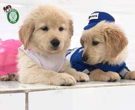 Cachorros Golden Retriever en Pet Vital