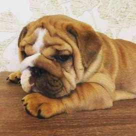 venta de bulldog ingles cachorross