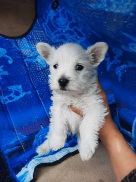Raza West Highland white terrier cachorros de 45 días