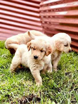 Preciosidad de cachorros Golden Retriever