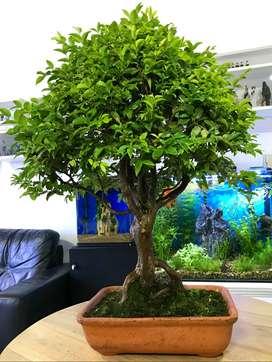 Bonsai Jabuticaba de Concurso 15 Años de Edad 82cm Alto