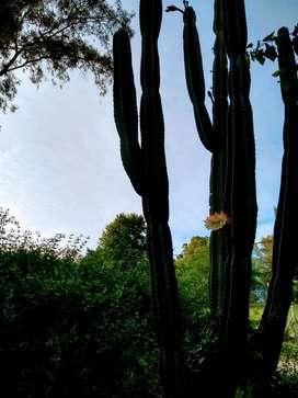 cactus de 50cm foto 3 -4 para transplartar hay varios desde 600$