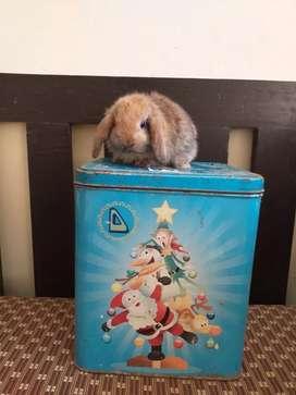 Vendo.hermosos.conejos
