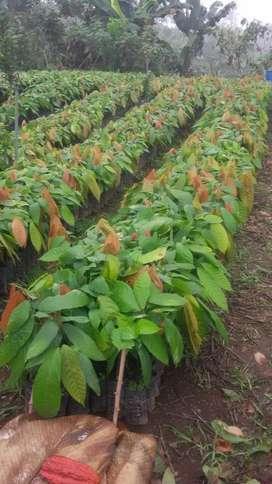 Se Vende Plantas de Cacao Ccn51
