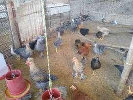 Venta de pollas y pollos de 3 y 4 meses vacunados y buena alimentación