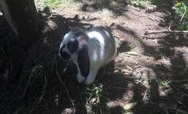 Conejos Reproductores de RAZA