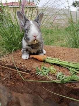 Se venden conejos raza mini Rex pelo antialergico