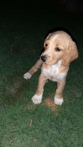 Vendo cachorros beagle