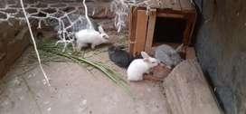 Conejos jigantes