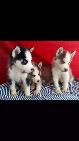 Disponibilidad de cachorros lobos siberianos puros