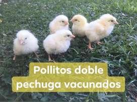 POLLITOS DOBLE PECHUGA
