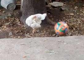 vendo gallina