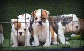 Bulldog Inglés.  Cachorros disponibles.