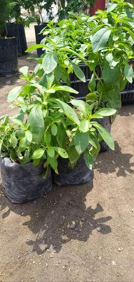 Plantones de Stevia Rebaudiana