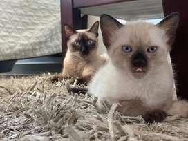 Gatitos siames tradicional puros ojos azules Excelente genetica