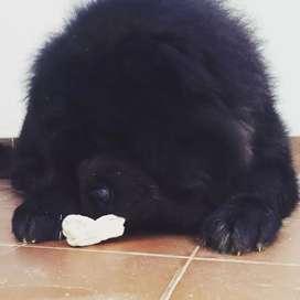 Chow chow cachorro/padres inportados