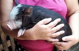 Vendo mini pig hermosos