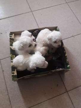 Vendo caniches