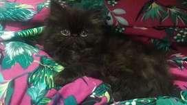 Vendo gatitos persas