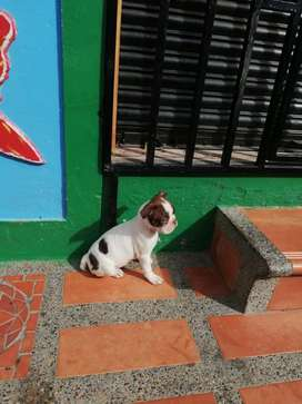 Hermosos Cachorra Boston Terrier Garantia de pureza