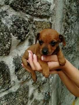 Deseo un cachorro de raza pequeña q regalen