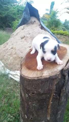 Cachorros PINCHER vaca miniatura adispocicion