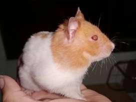 Bellos Hamster Sirios
