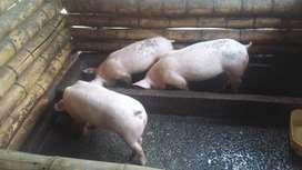 Vendo cerdos para levante