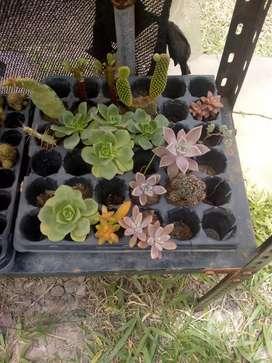Cactus y suculentas a raíz desnuda