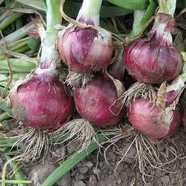 semillas de cebolla roja planta
