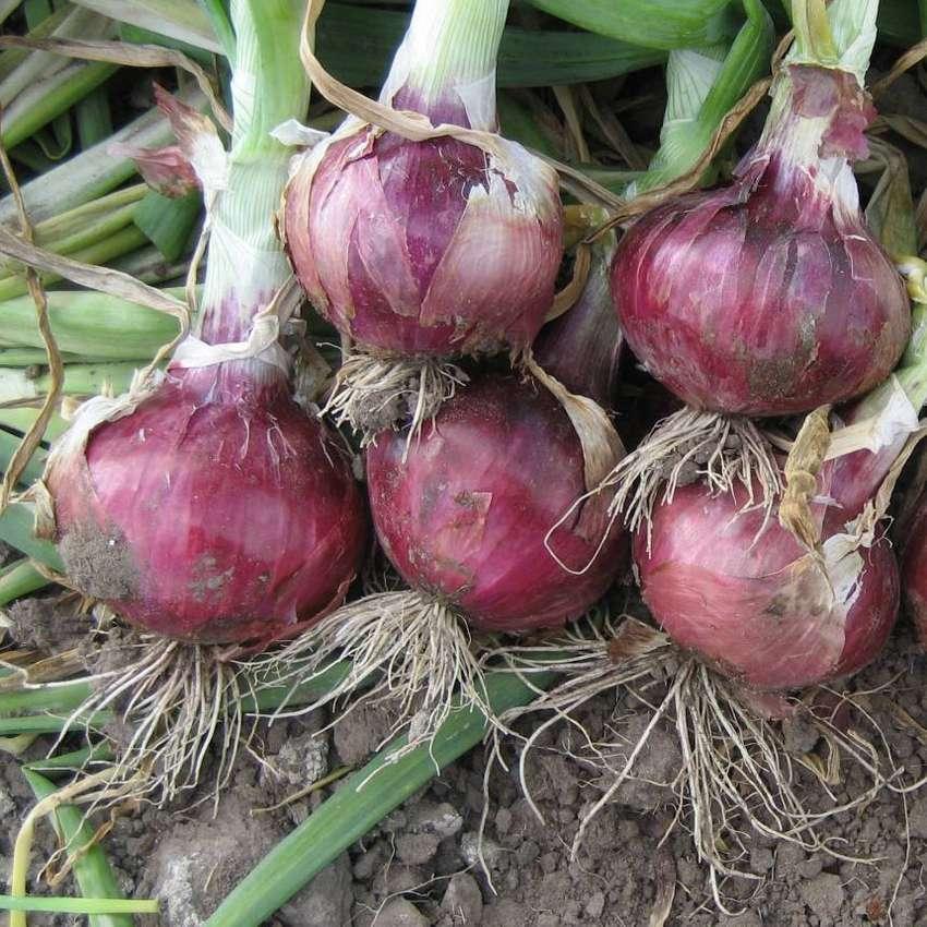 semillas de cebolla roja planta 0