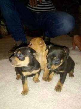 Venta hermosos perritos pincher miniatura