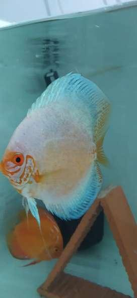 Venta de excelentes peces disco