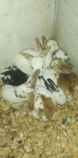 Conejos rex disponibles