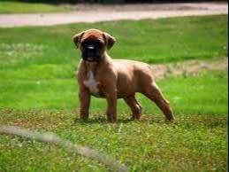 Cachorros de gran pureza aspecto impecable ideal de la raza