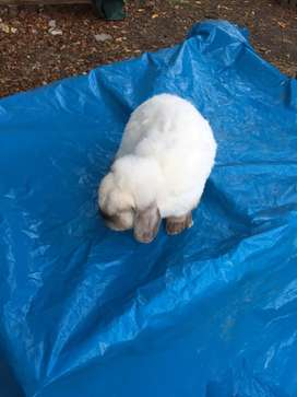 Conejo Holland lop Macho Reproductor