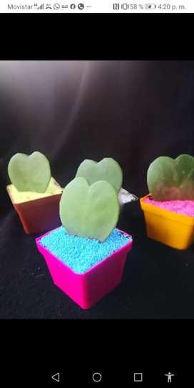 Cactus suculentas corazón hoya kerrii