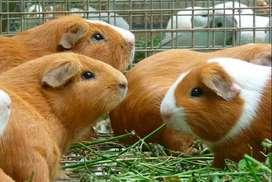 Cuyes Reproductores de Raza Sintético Perú