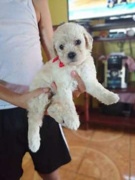 Perra French poodle