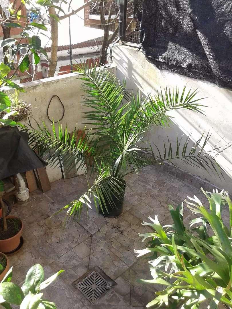 2 Palmeras Phoenix  ( 2 palmeras) 0