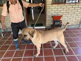 Venta cachorros fila brasileros